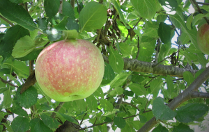 Apples at Laura Ingalls Wilder Historic Homes and Museum